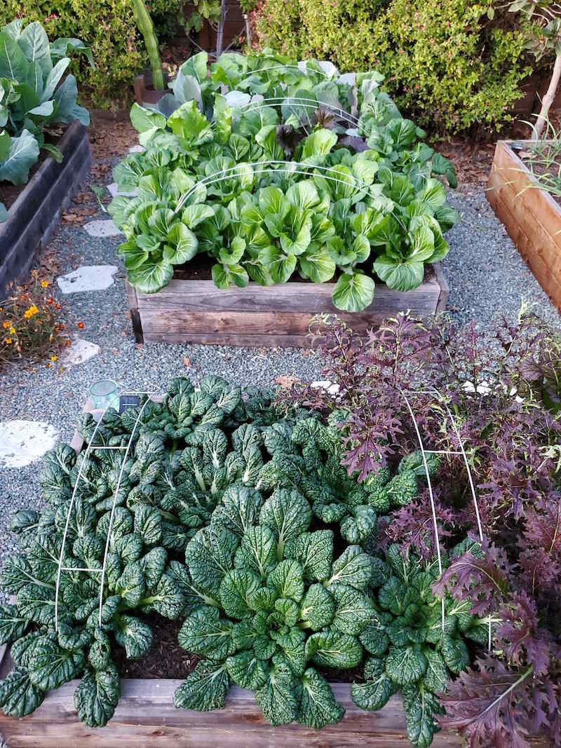 Two raised garden beds full of a variety of leafy green vegetables is shown. Each bed has three metal hoops placed evenly across the bed. Floating row covers are usually placed over the top of the raised beds and kept off the plants with the assistance of the hoops.