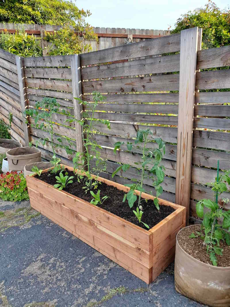 A garden bed on concrete with three young tomato plants planted in it. They are along a wooden fence, a great place to work with in limited space.