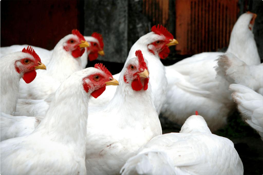 Meat Chicken Breeds: Cornish Cross Chicken