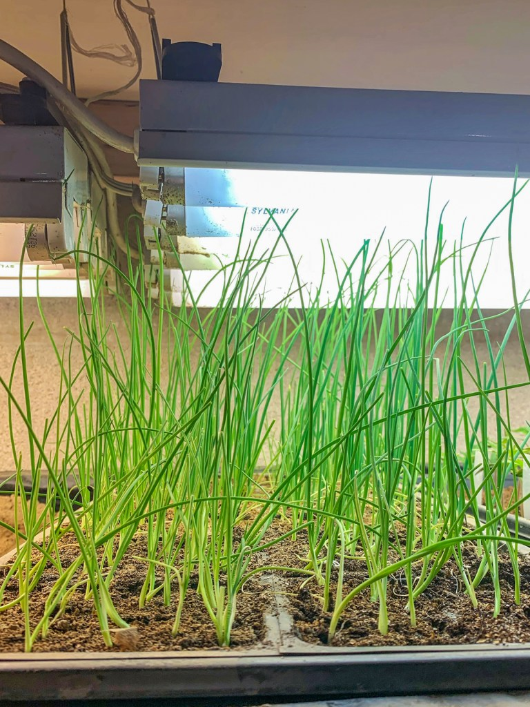 Onion seedlings under grow lights: How to Grow Onions from Seed