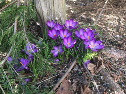 These are one of the first signs that Spring is near
