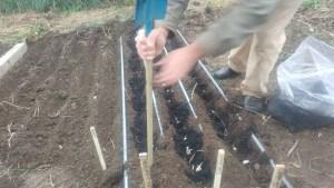 planting garlic in rows