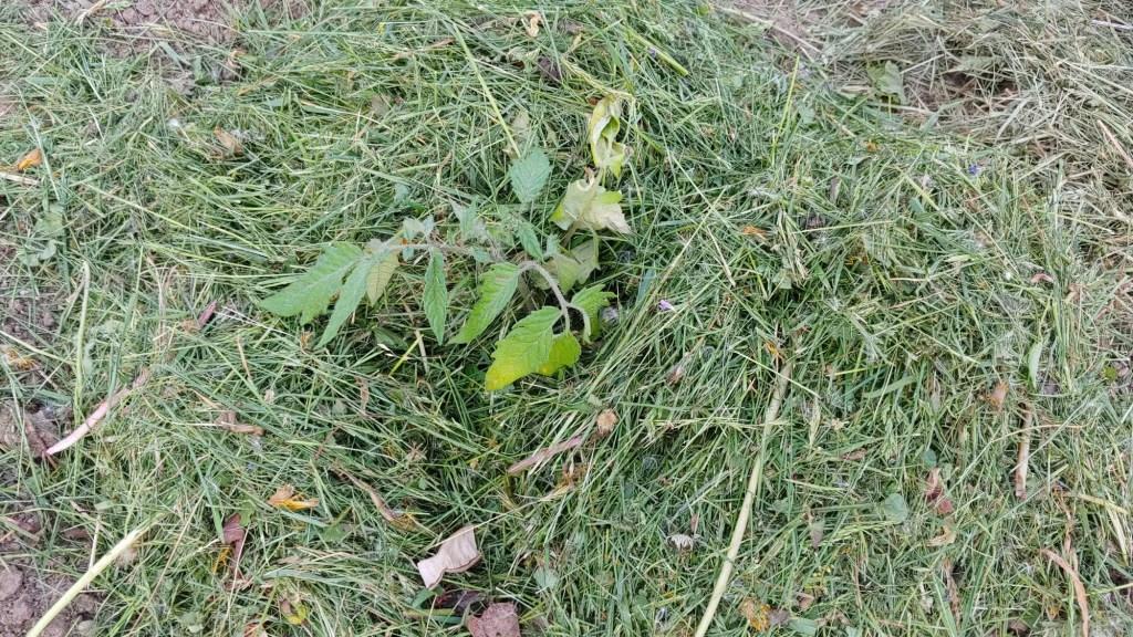 mulched tomato plant