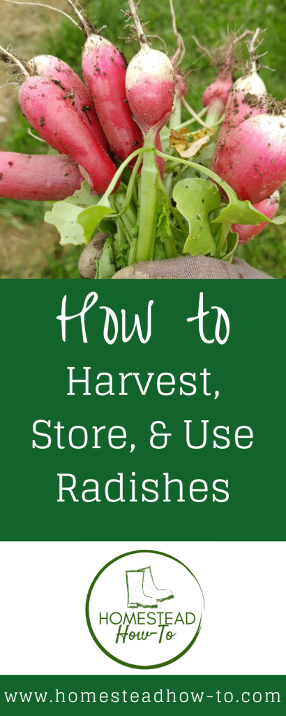 How to Harvest, Store, and Use Radishes