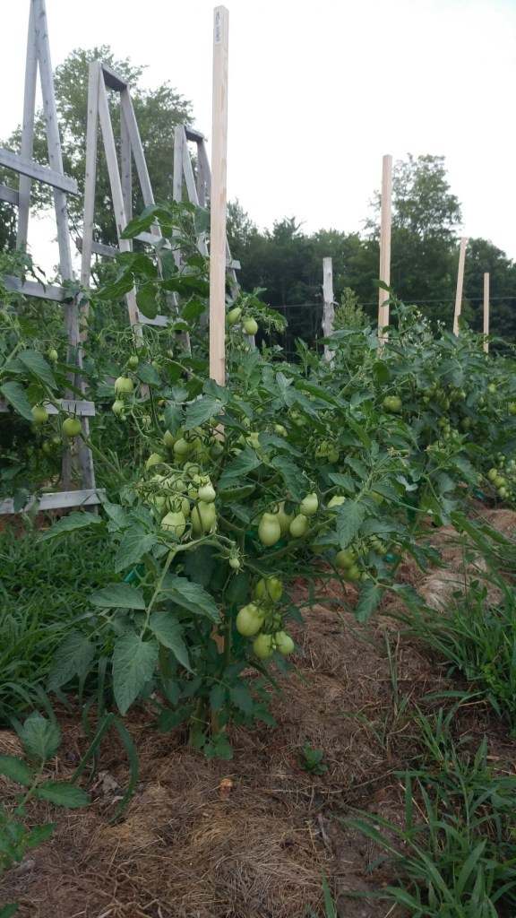 tomato stakes and tomato cages next to each other