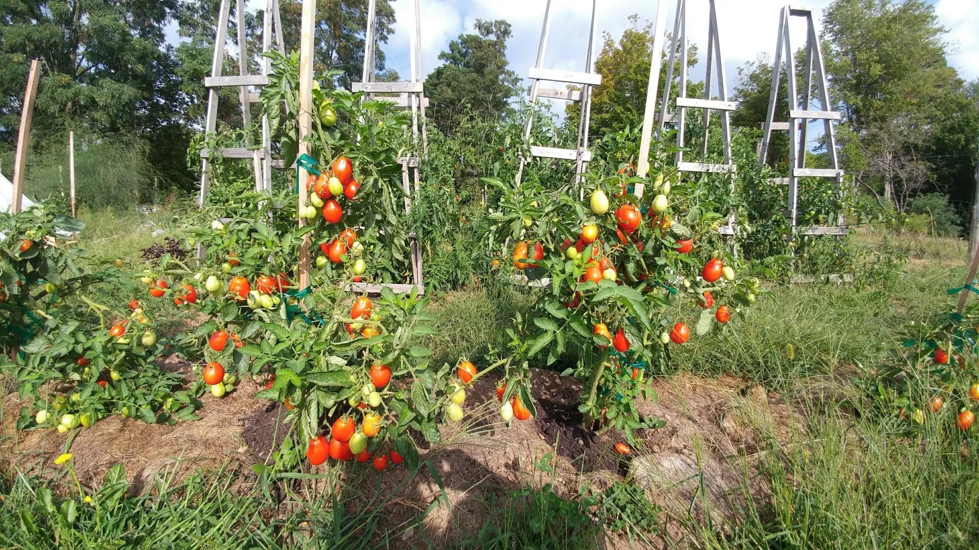 How to Support Tomatoes: Tomato Stakes vs. Tomato Cages