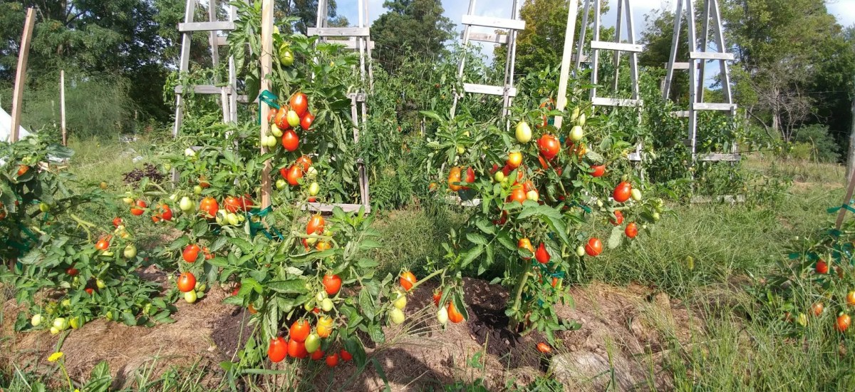 How to Support Tomatoes: Stakes vs. Cages