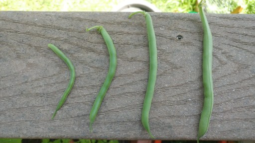 green beans of various sizes