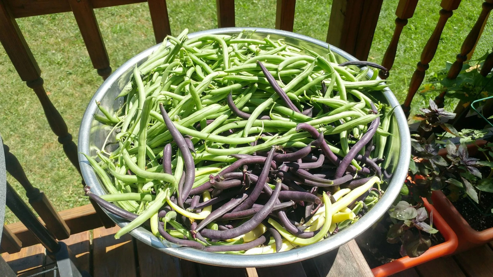 How to Harvest & Freeze Green Beans