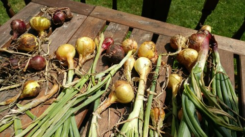harvested onions drying in the sun on a picnic table