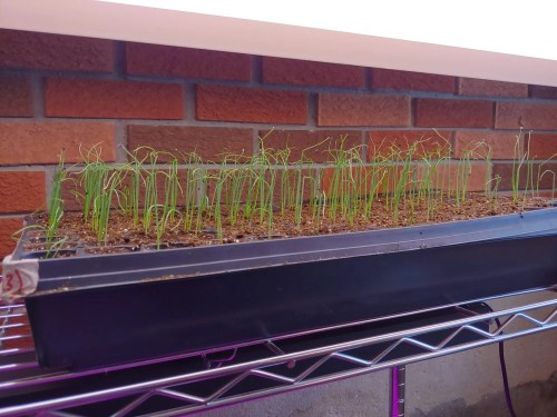 growing onions from seed under a grow light indoors