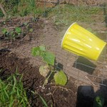 cucumber beetle trap installed above a plant