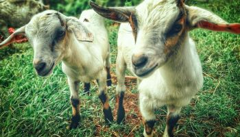 Goats On The Homestead: The Perfect Livestock For Your Farm