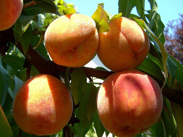Peaches | How To Create A Bee-Friendly Garden | Organic Gardening Tips And Ideas