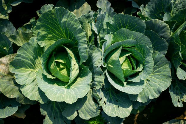 Companion Plants For Your Survival Garden cabbage