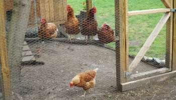 best 25 brd cage decoraton deas on pnterest.htm chicken coop designs and ideas  2nd edition  homesteading  chicken coop designs and ideas  2nd