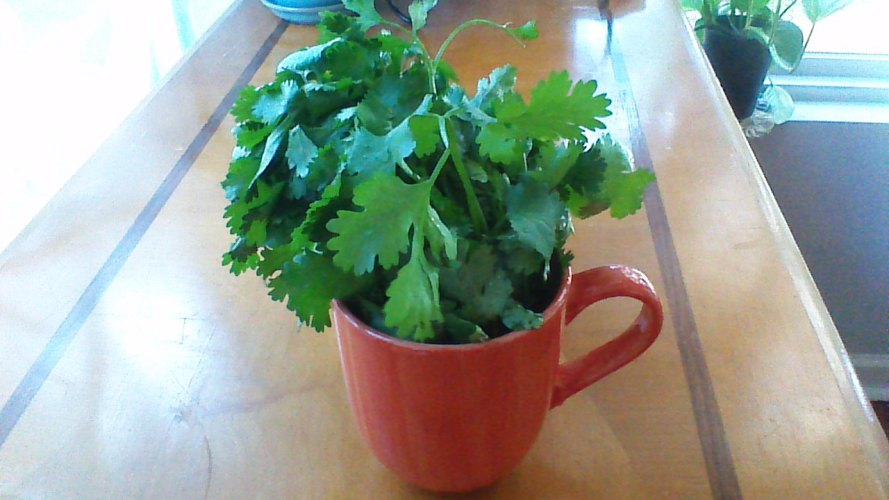 cilantro homesteadingdreams.com