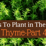 Herbs To Plant In The Fall -Part 4 Thyme
