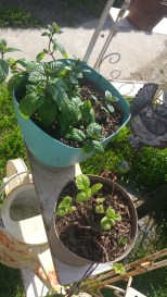 mint in both pots