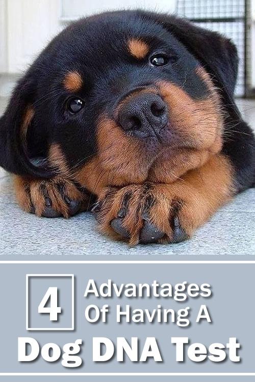 4 Vorteile eines Hunde-DNA-Tests