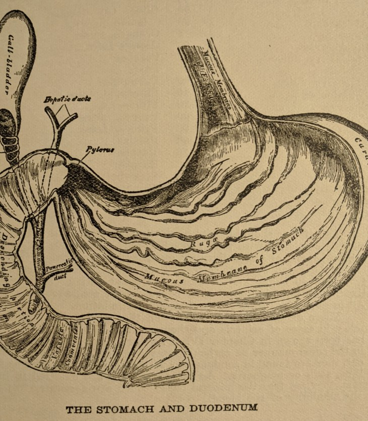 1925 Stomach Illustration
