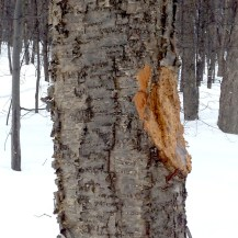 THIS IS NOT HOW YOU HARVEST CHAGA