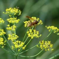 Es blüht und brummt im Kräutergarten