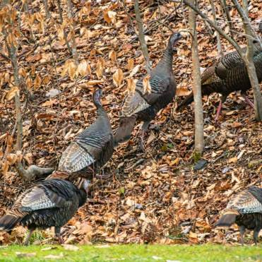 Turkies flock