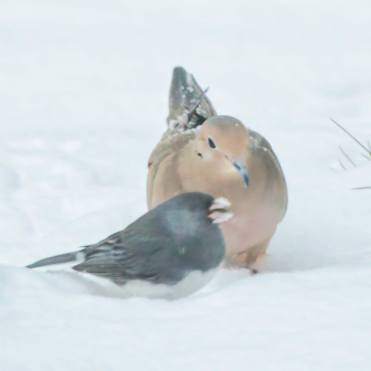 bird dove and grey bird in the snow
