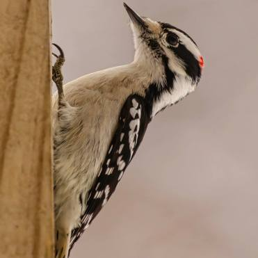 bird woodpecker3
