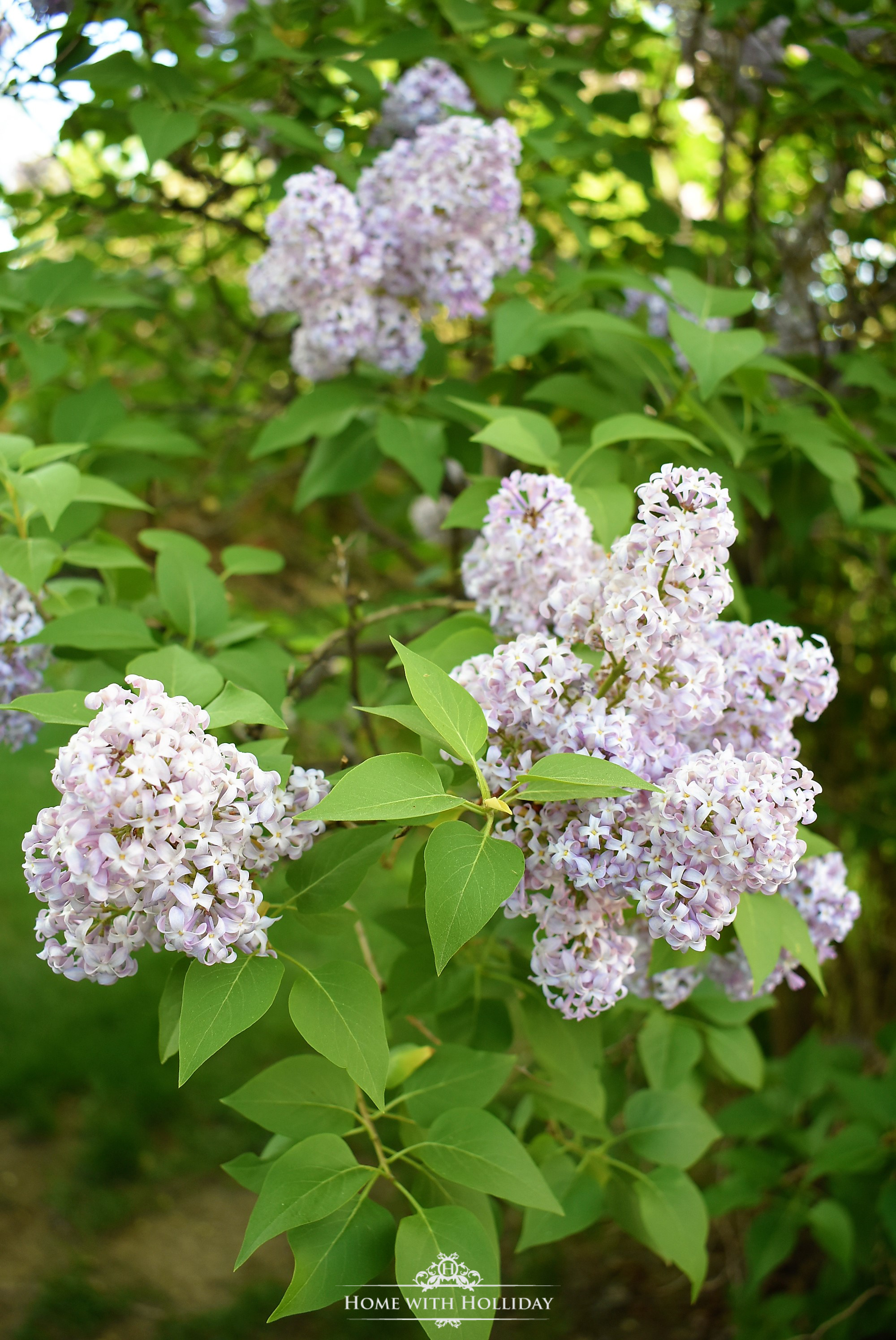 Pruning and Enjoying Lilacs
