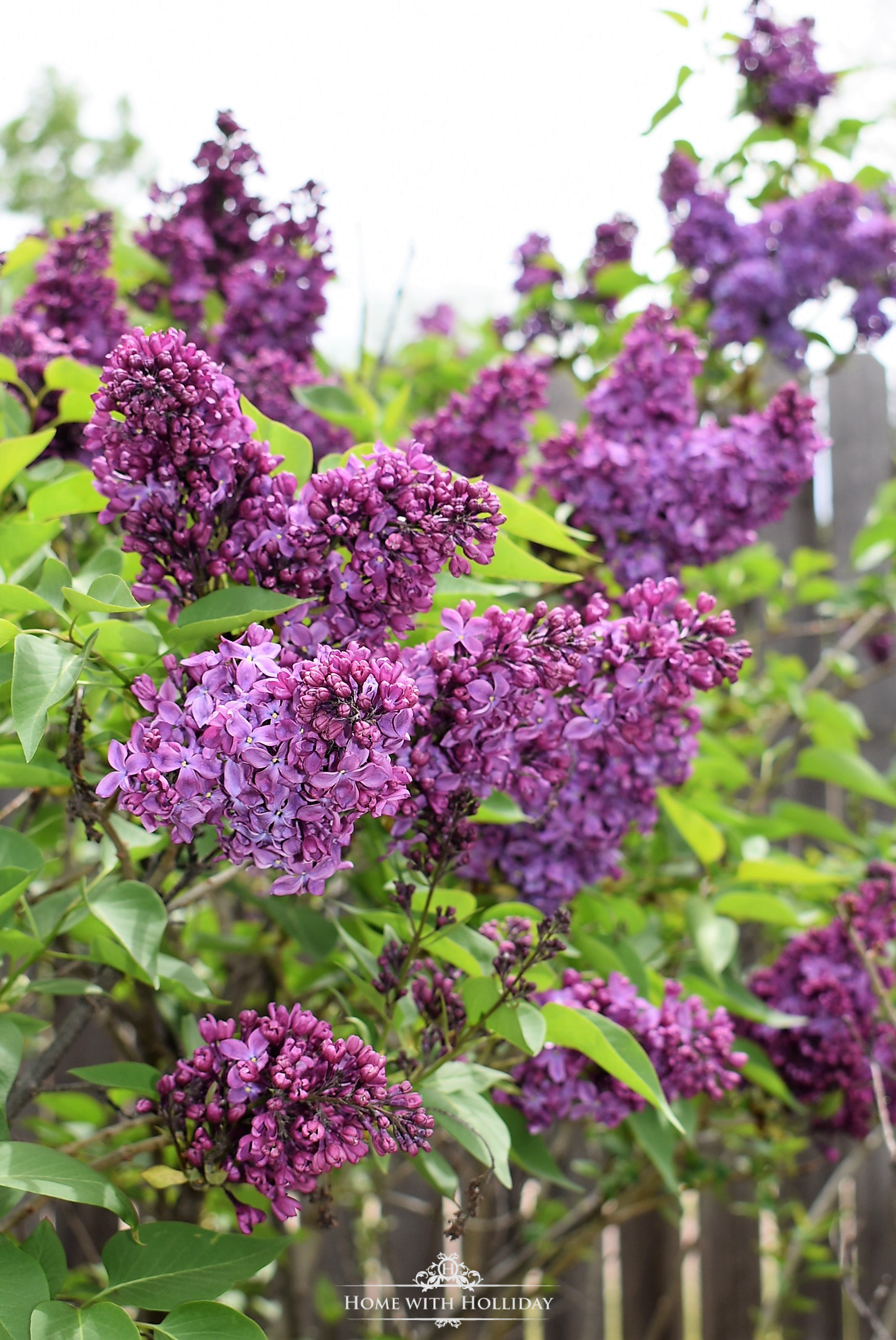 Pruning and Enjoying Lilacs 8