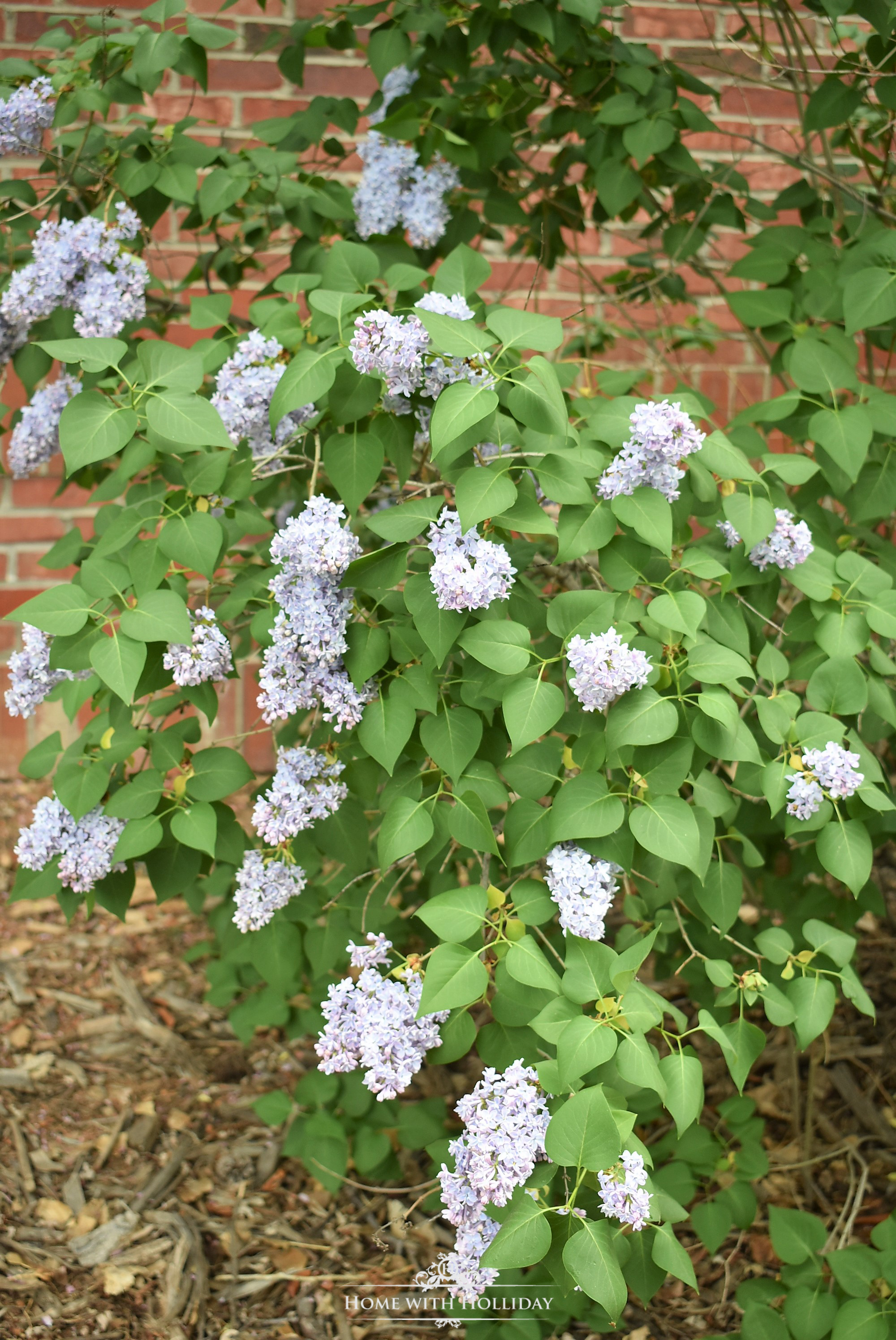Pruning and Enjoying Lilacs 7