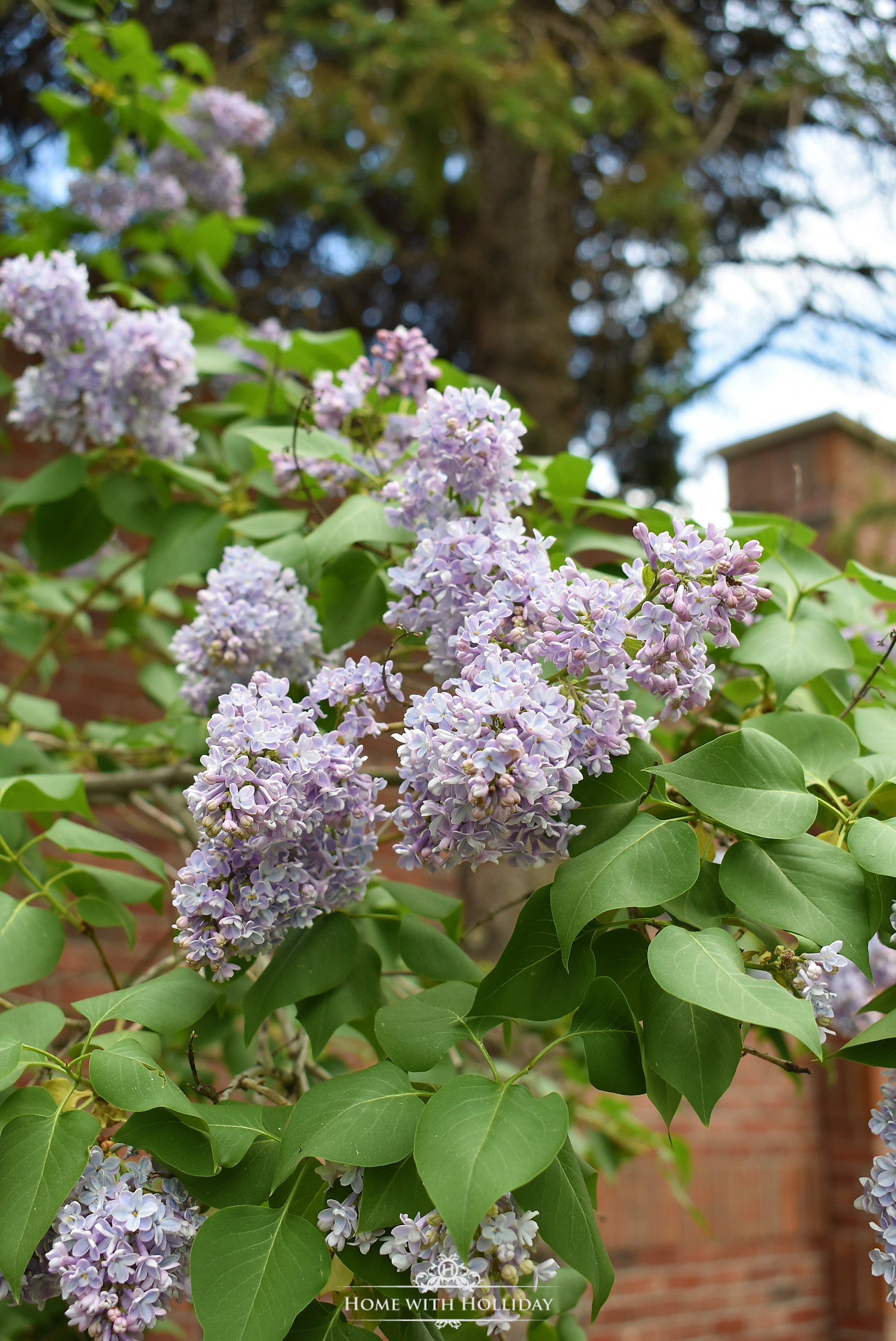 Pruning and Enjoying Lilacs 5