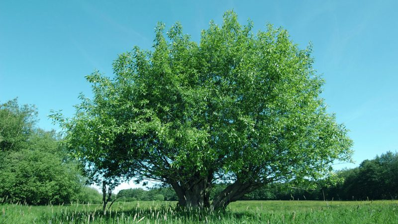 Crack Willow (Salix fragilis) – British Trees - Woodland Trust
