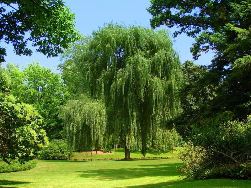 Free download Black Willow Tree Related Keywords amp Suggestions Black  [1280x960] for your Desktop, Mobile & Tablet | Explore 69+ Weeping Willow  Wallpaper | Willow Tree Wallpaper,