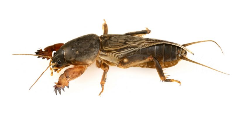 Identify and Control Mole Crickets