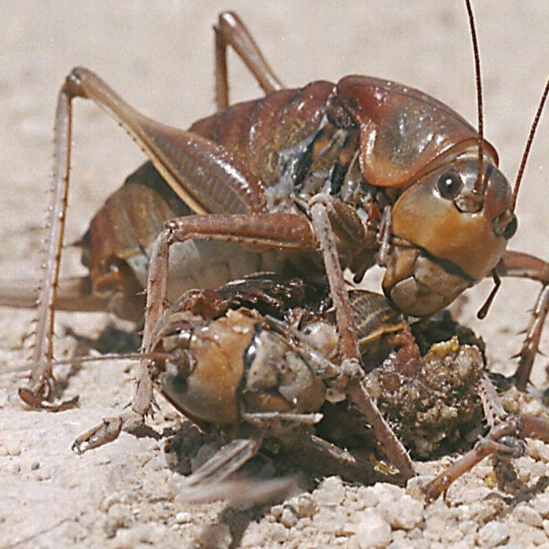 Mormon crickets are back — 3 inches long and wreaking havoc in Idaho |  Southern Idaho Agriculture News | magicvalley.com