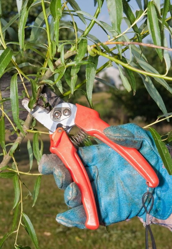 Pruning Willow Trees - Learn About Trimming A Willow Tree
