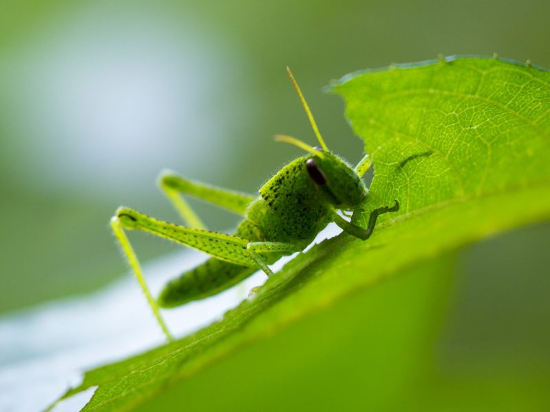 The Difference Between Grasshoppers and Crickets