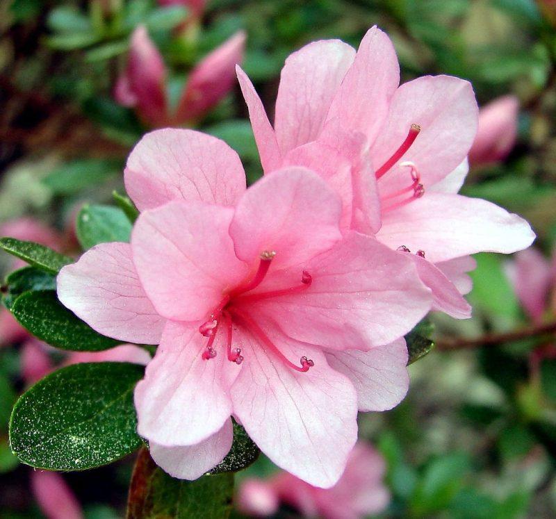 Azalea Blossom | 'DSC04366' On Black Good Morning Everyone! … | Flickr | Azalea flower, Pink azaleas, Types of flowers