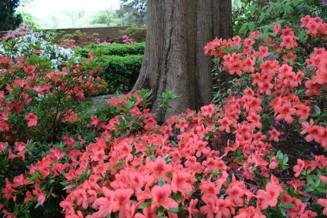 Azalea Gardens at the U.S. National Arboretum Review - Grading Gardens