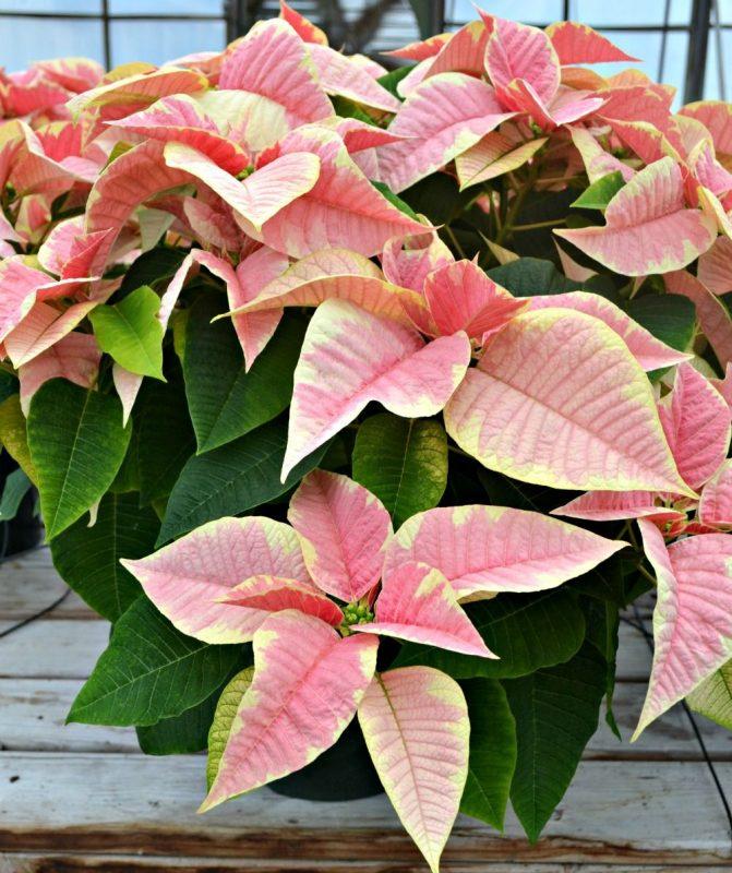 Christmas poinsettia - Shimmer Surprise | Poinsettia, Christmas poinsettia, Outdoor holiday decor