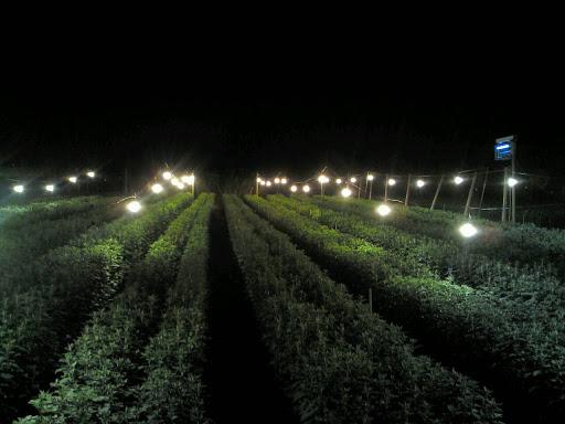 Chrysanthemum illuminations worth the look | Japan Update