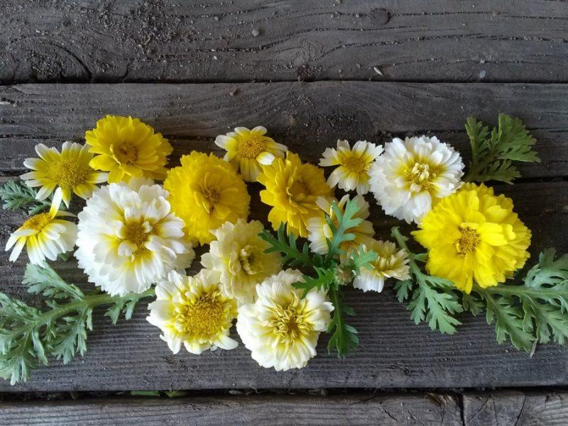 Chrysanthemum, Shungiku Edible – Snake River Seed Cooperative