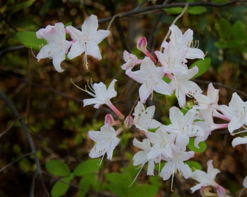 Coastal Azalea | Piedmont Gardener