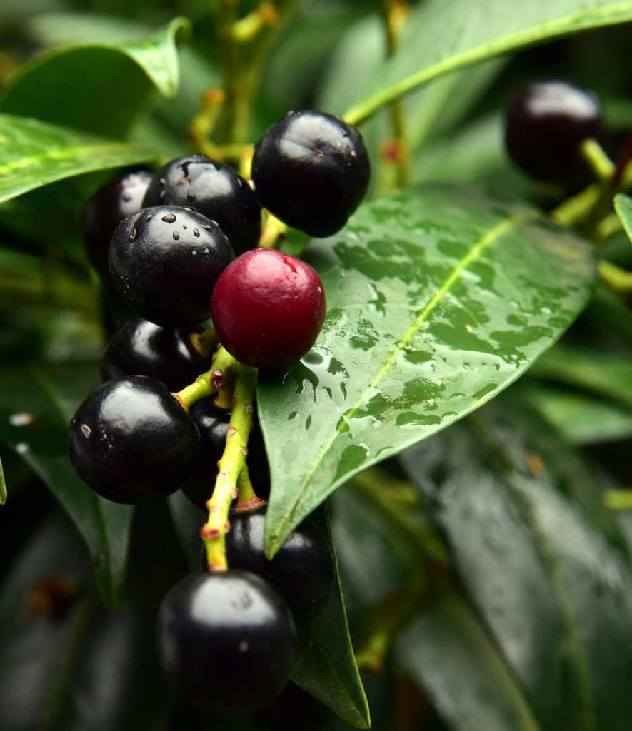 Common laurel - planting, pruning, advice on caring as a hedge & more