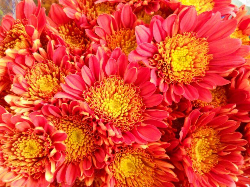 Cushion Mums | Chrysanthemum, Plants, Daisy