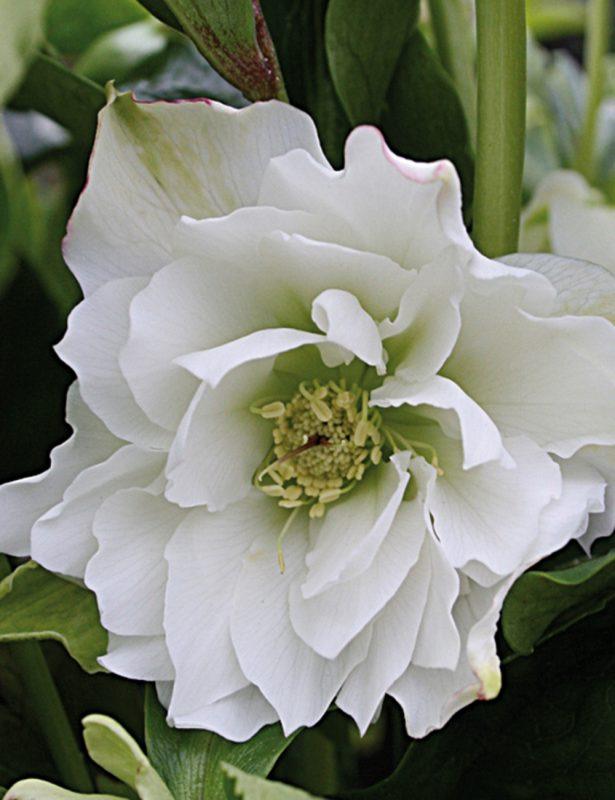 Double Winter Rose White Ruffles - Tesselaar