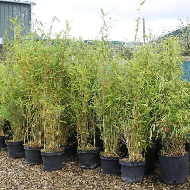 Fargesia murielae Bamboo | Umbrella Bamboo